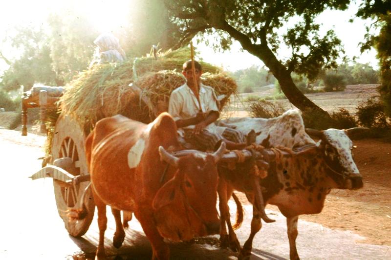 Harappa – Bullock cart