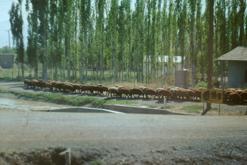 Sheep near Iranian border