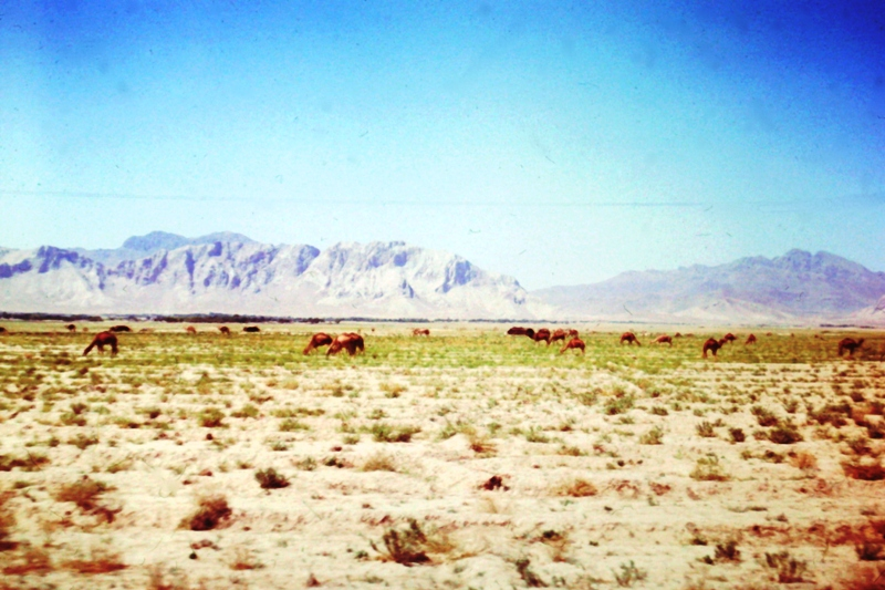 Between Herat & Kandahar – camels