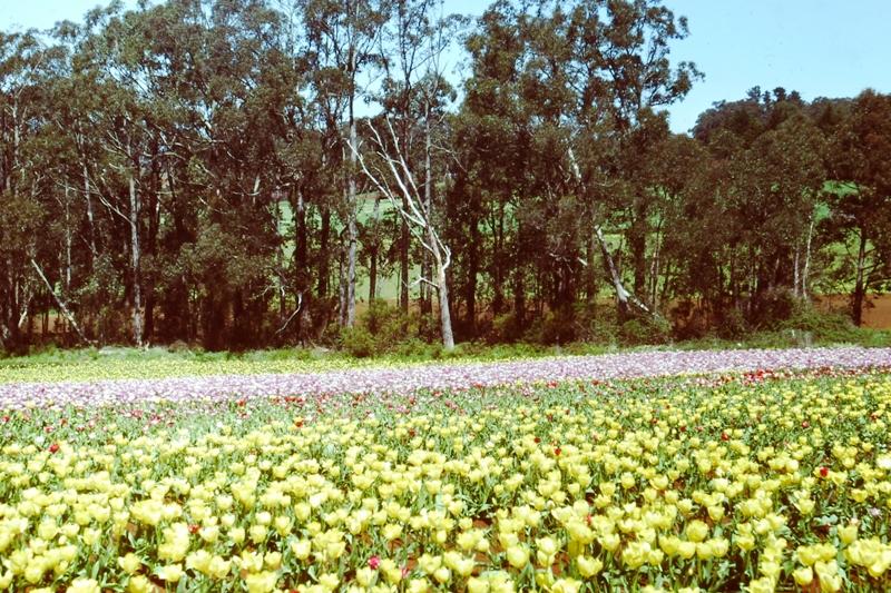 Dandenongs – Tulips